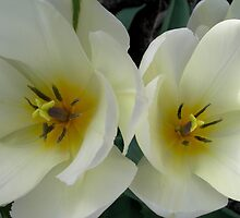 Twin White Tulips by Kathleen Brant