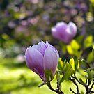 Magnolia Bokeh by jayneeldred