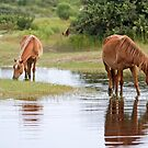 Outer Banks Wild Horses by Jan Cartwright