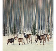 Caribou and trees Photographic Print
