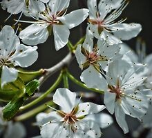 White Beauties by Dorothy  Pinder