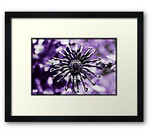 Osteospermum - Black Widow Framed Print