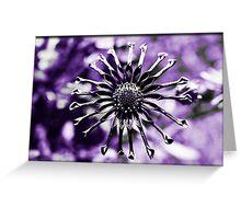 Osteospermum - Black Widow Greeting Card