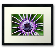 Osteospermum - Black Widow [2] Framed Print