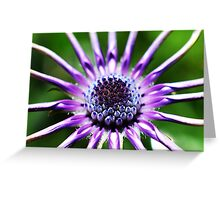 Osteospermum - Black Widow [2] Greeting Card