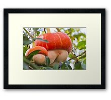 a beautiful pumpkin Framed Print