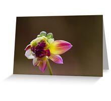 dahlia in garden Greeting Card