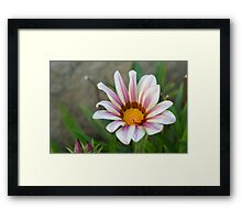 aster in garden Framed Print
