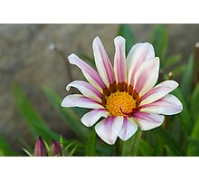 aster in garden Photographic Print