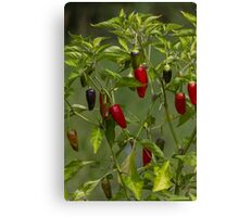 red and blue chili Canvas Print
