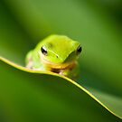 Dwarf Tree Frog by Dieter Tracey