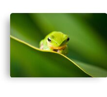 Dwarf Tree Frog Canvas Print