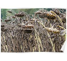 field of dried sunflowers Poster