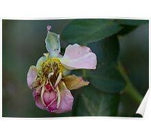 dried rose in the garden Poster