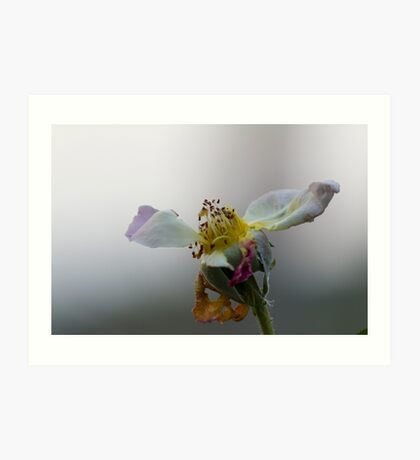 dried rose in the garden Art Print