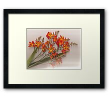 Flaming Montbretia Framed Print