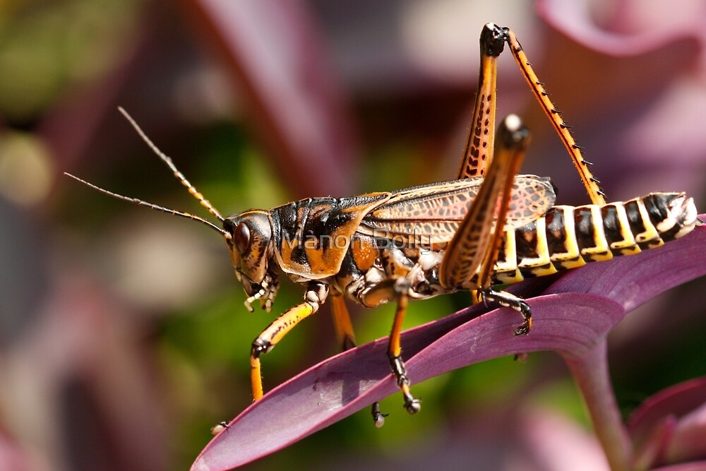 Lubber grasshopper on purple by Manon Boily