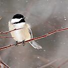 Windblown Chickadee by Debbie Oppermann