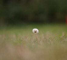 Lonely Dandelion by lizzh