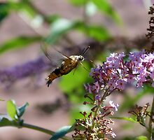 Bee Hawk Moth by Trish Meyer