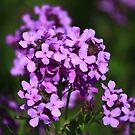 Purple Haze by Adam Kuehl