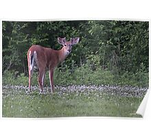 Young Buck in the Meadow Poster