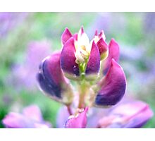 Purple Lupin Top Photographic Print