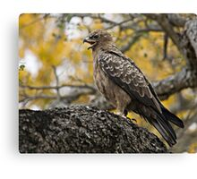 Wahlberg's Eagle Canvas Print
