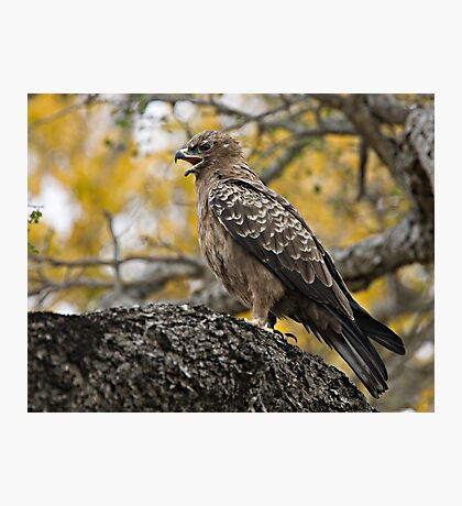 Wahlberg's Eagle Photographic Print