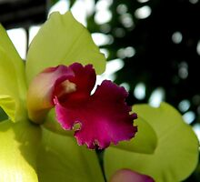 Beauty of an Orchid    ^ by ctheworld