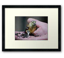 Goldfinch Fledgling & Niger Seeds... Framed Print