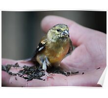 Goldfinch Fledgling & Niger Seeds... Poster