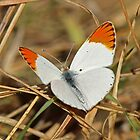 Orange Tip Butterfly by jozi1