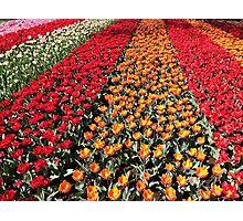Tulips in Line Photographic Print