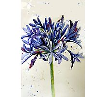 agapanthus Photographic Print