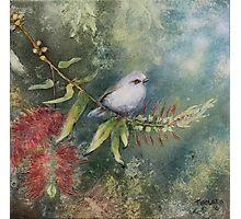Grey Warbler in Bottle Brush Photographic Print