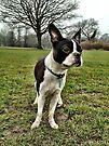Portrait of Meryl the Boston Terrier II by Ludwig Wagner