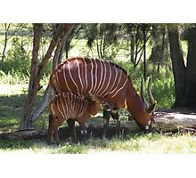 East African Bongo and Calf. Photographic Print