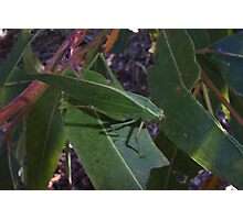 Gum-leaf Katydid on Eucalyptus. Photographic Print