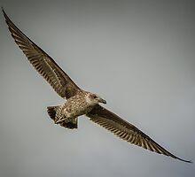 magestic Blackback gull by robertperry