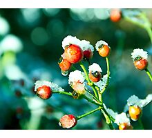 Rose Hips in winter Photographic Print