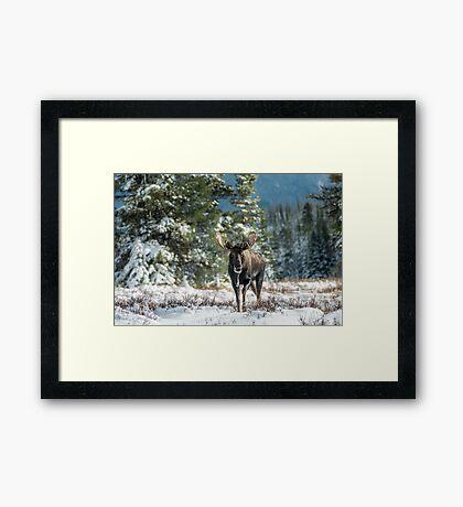 Canadian Western Bull Moose Framed Print