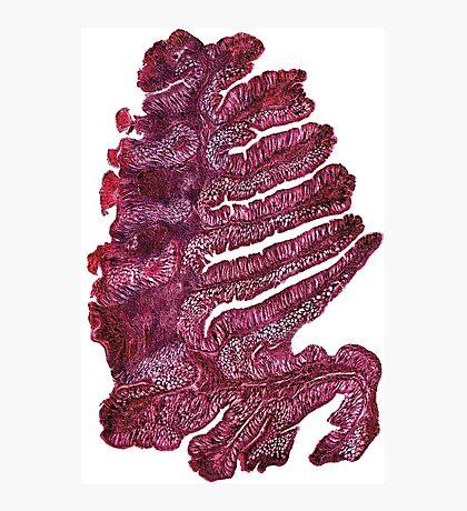 Japanese pine (intestine cells of the earthworm) Photographic Print