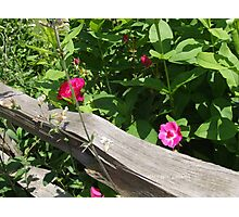 flowers pink on a fence Photographic Print