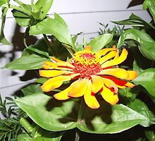Orange Zinnias grow in Mo's garden  by Maureen Zaharie