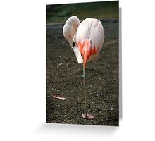 Chilean Flamingo Greeting Card