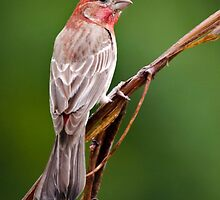 House Finch by Christina Rollo