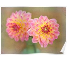 Beautiful Pink and Yellow Dahlia Poster