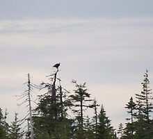 photography of forestry in Nova Scotia with an Eagle by Vujovich44