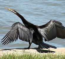 Australasian Darter, Anhinga novaehollandiae by Trish Meyer